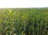 农村创业加盟,华夏种植金虫草