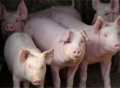 养猪场加盟需要办理什么证