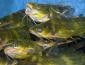 养殖黄颡鱼 深受返乡创业农民工信赖