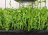 绿色食品加盟店,绿尚芽苗菜品牌优势大,值得投资创业