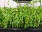 綠色食品加盟店,綠尚芽苗菜品牌優勢大,值得投資創業