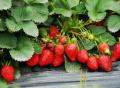 農村創業種植菠蘿莓生意好