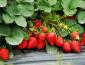 农村创业种植菠萝莓生意好