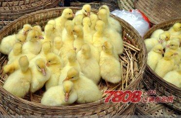 养鸭和养鹅哪个赚钱