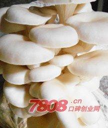 平菇生料栽培,平菇工厂化栽培哪个好,优菌派蘑菇种植,优菌派