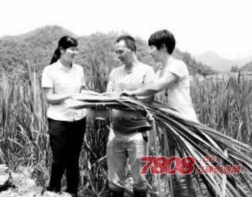 浙江开化民工夫妻回乡种茭白,年收入达300余万元